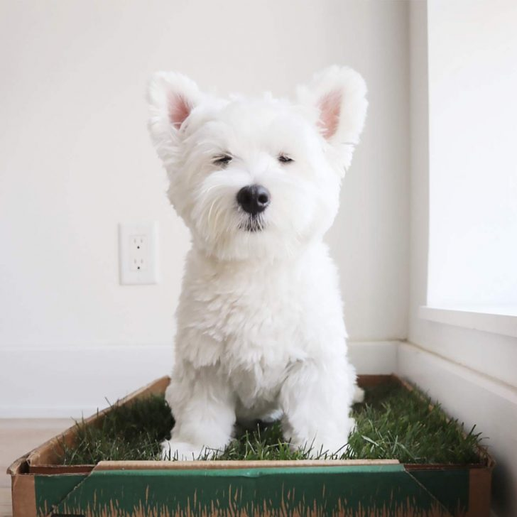 real grass patch dog potty for balconies and indoors