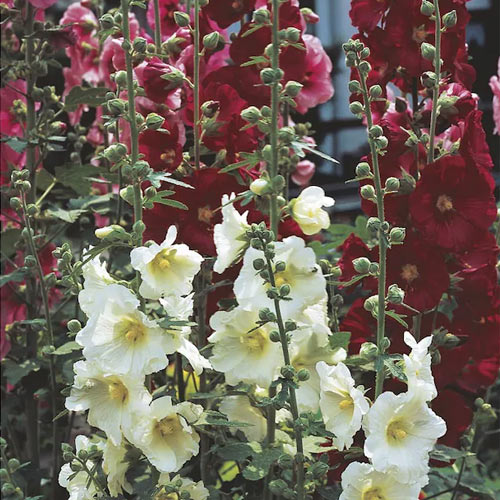 hollyhock balcony privacy plant