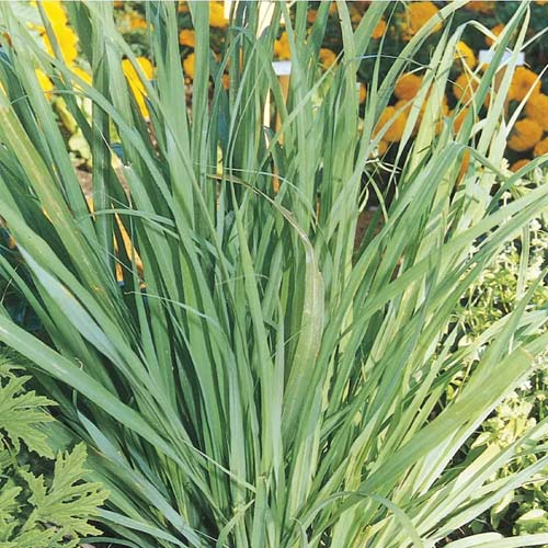 lemon grass balcony privacy plant